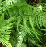 Ferns - Outdoor