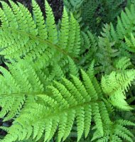 Polystichum setiferum Shield Fern - 2 litre