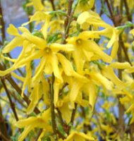 Forsythia x intermedia Goldrush