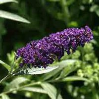 Buddleia Black Knight - 2 litre