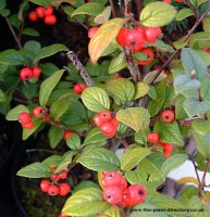 Cotoneaster simonsii for hedging - pack of 10