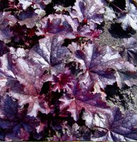 Heuchera Plum Pudding - 2 litre