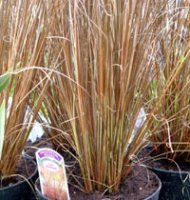 Carex buchanii - 2 litre