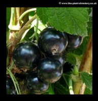 Blackcurrant Collection of 6 plants