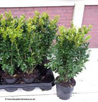 Buxus - Box Hedging - 1 litre Pot