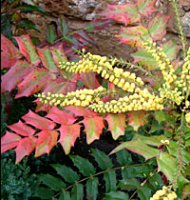 Mahonia Winter Sun - 4 litre