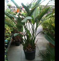 Strelitzia reginae Bird of Paradise Plant - 20 cm pot