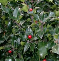 Ilex meserveae Blue Angel Holly 1.5 litre