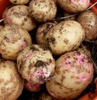 Maincrop Seed Potatoes - Cara - 1kg