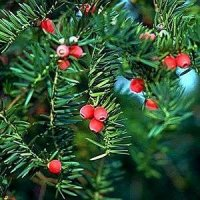 Taxus baccata - English Yew - 30-50cm - pack of 10