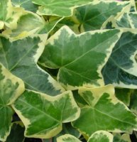 Hedera - Green and Gold Trailing Ivy in 7cm pot