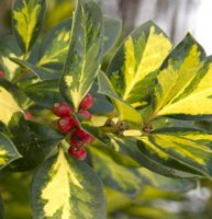 Ilex altaclerensis Lawsoniana - Gold Variegated Holly 3 litre