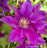 Clematis Full Catalogue