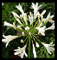 Agapanthus africanus - White African Lily