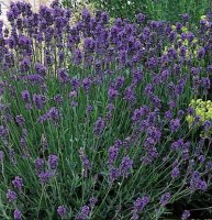 English Lavender Dwarf Munstead - 1 litre
