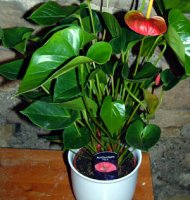 Anthurium - The Flamingo Flower