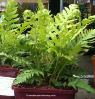 Woodwardia fimbriata - Giant Chain Fern - 2 litre