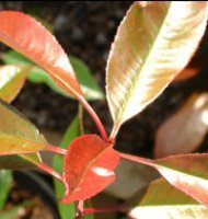 Photinia x fraseri Red Robin - 2 litre