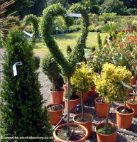 Ligustrum Jonandrum - Love Heart Topiary 1.5m
