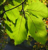 Fagus sylvatica Beech for hedging - pack of 10