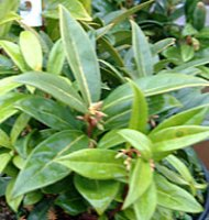 Sarcococca confusa - Sweet Box - 1 litre