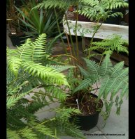 Dicksonia antartica - Tasmanian Tree Fern in 3 litre pot