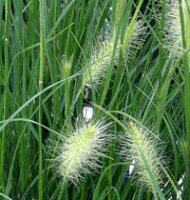 Pennisetum Hameln - Fountain Grass - 2 litre