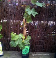 Muscat Grape Vine - 1.5 litre