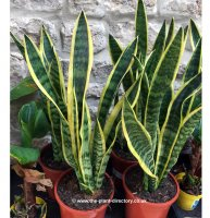 Sansevieria trifasciata - Mother-in-Laws Tongue - 5 litre