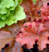 Heuchera Peach Flambe - 2 litre