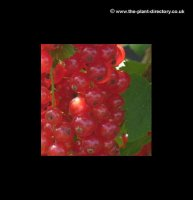 Redcurrant Rosetta - Extra Value Pack of 4 Plants