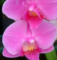 Phalaenopsis Gift Orchid - Pink
