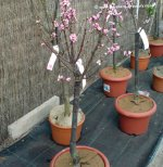 Dwarf Patio Fruit Trees