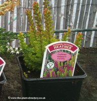 Heathers - 12 Plants in 10cm Square Pots