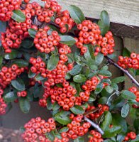 Pyracantha Orange Glow - 2 litre