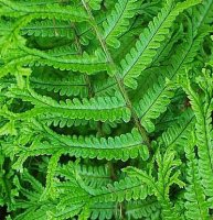 Dryopteris affinis - Cristata the King - 2 litre