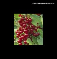 Redcurrant Laxton No. 1 - Extra Value Pack of 4 Plants