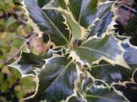 Ilex argentea marginata - Silver Variegated Holly 1.5 litre