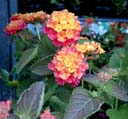 Lantana camara Multi-colour in 1 litre pot