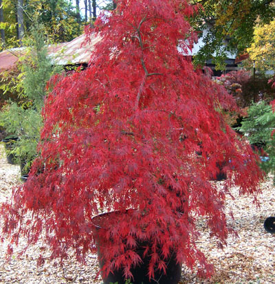 Acer (Japanese Maple Tree)