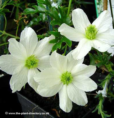 evergreen clematis evergreen plants the plant directory. Black Bedroom Furniture Sets. Home Design Ideas