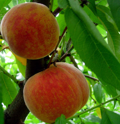 patio peach tree   bonanza