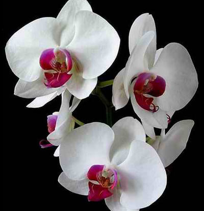 Phalaenopsis Gift Orchid - White