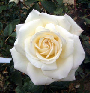 ... silver anniversary rose bush 3 litre silver anniversary rose has an